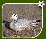 The Bar-headed Goose
