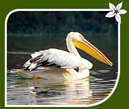 Pelicans, Bharatpur Bird Sanctuary